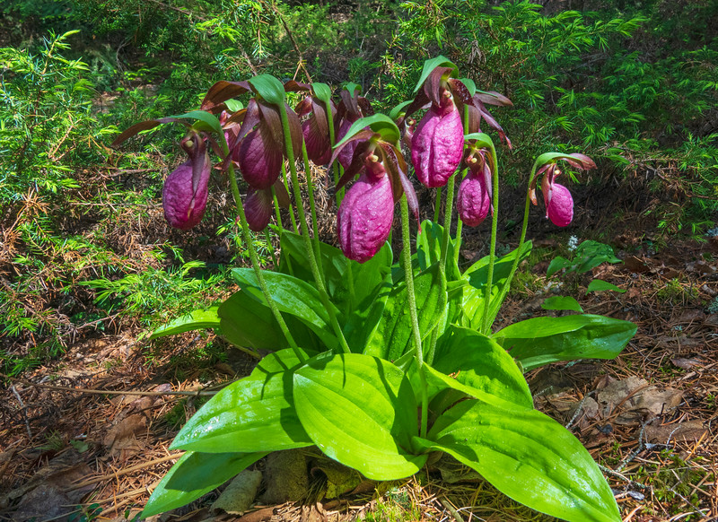 Pink Ladyslippers 001