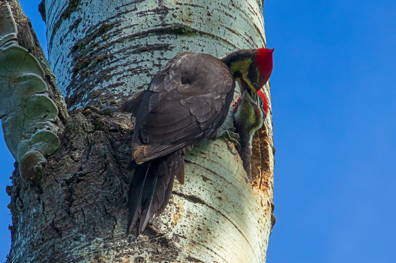 Pileated Woodpeckers 004