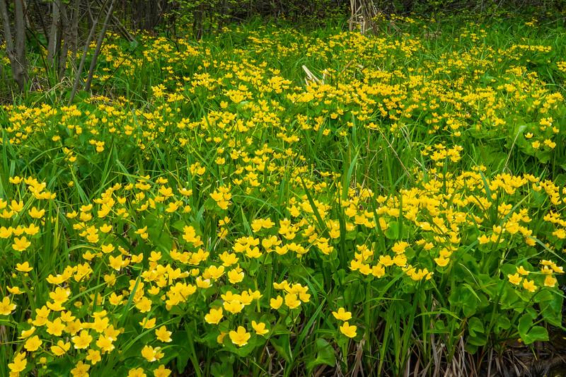 Marsh Marigold 001