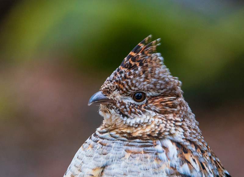Ruffed Grouse 004