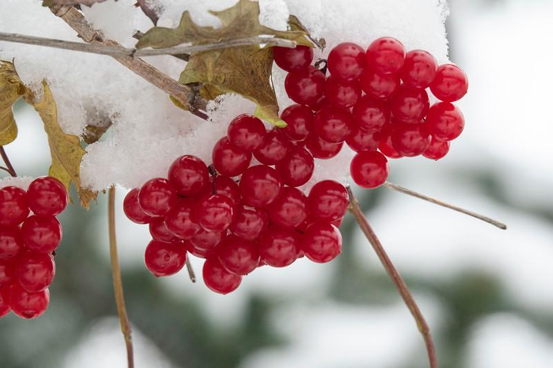 Highbush Cranberries 001