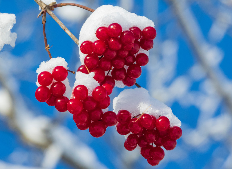 Highbush Cranberry 002
