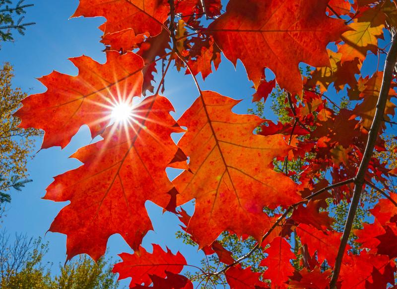 Oak Leaves 001
