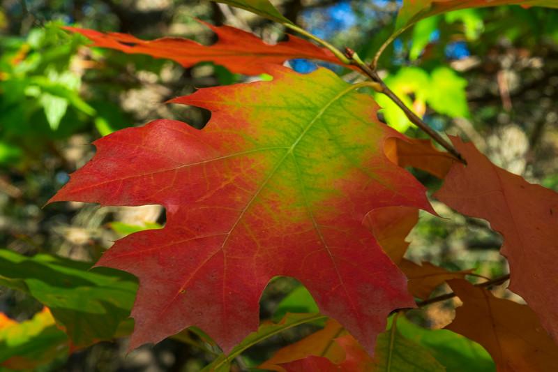 Oak Leaves 003