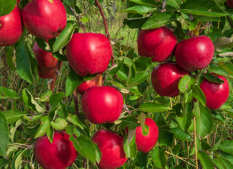 Bayfield Apples