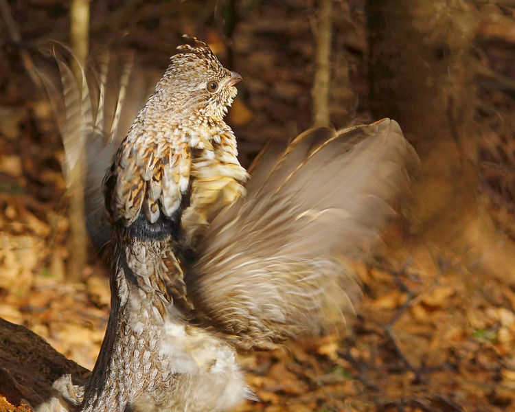 Ruffed Grouse 009