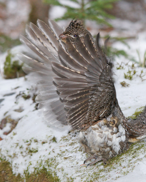 Ruffed Grouse 007