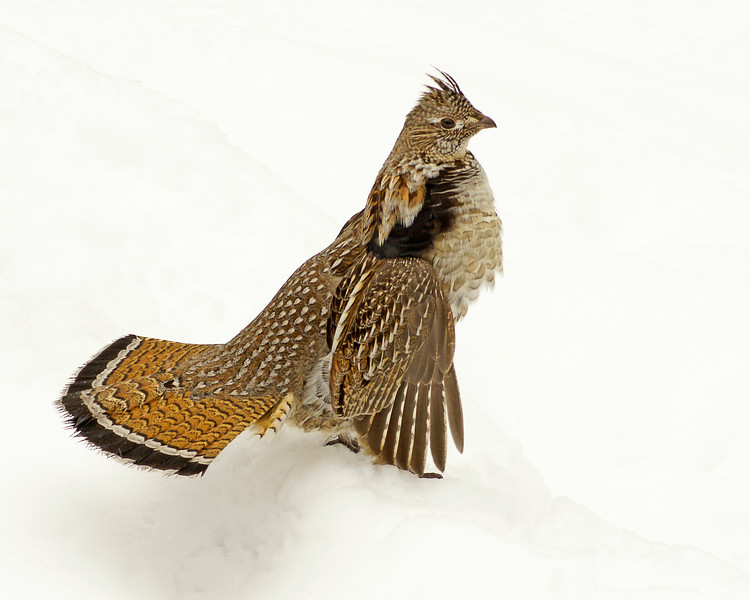 Ruffed Grouse 012