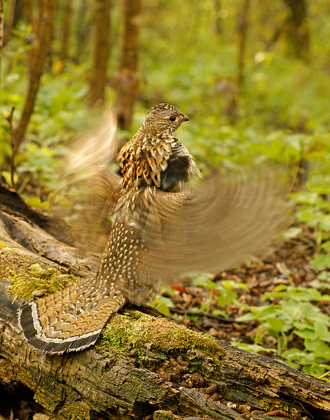 Ruffed Grouse 014
