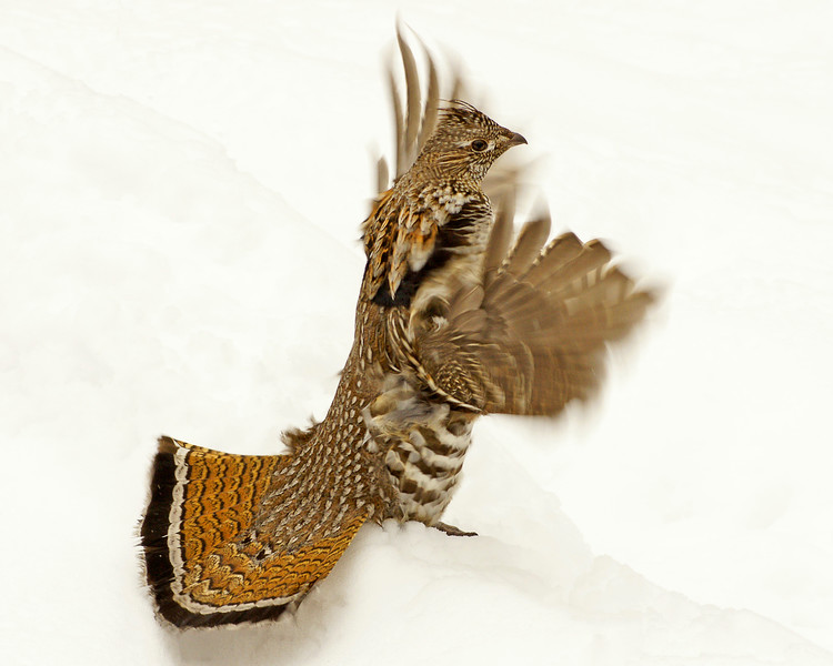 Ruffed Grouse 013