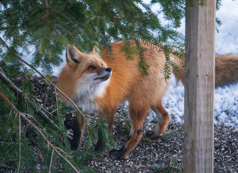Red Fox 001