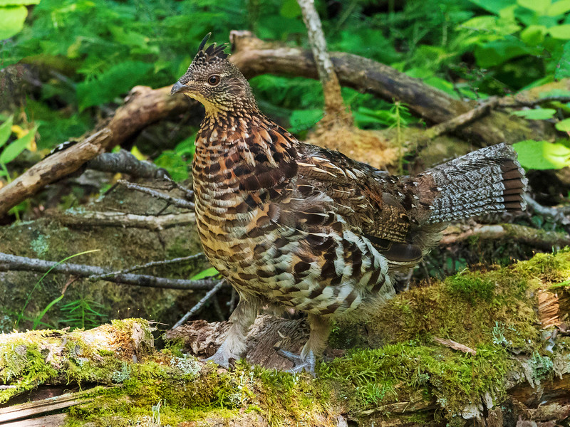 Ruffed Grouse 008