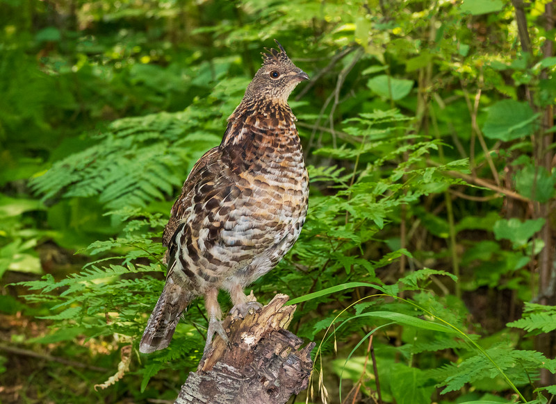 Ruffed Grouse 003