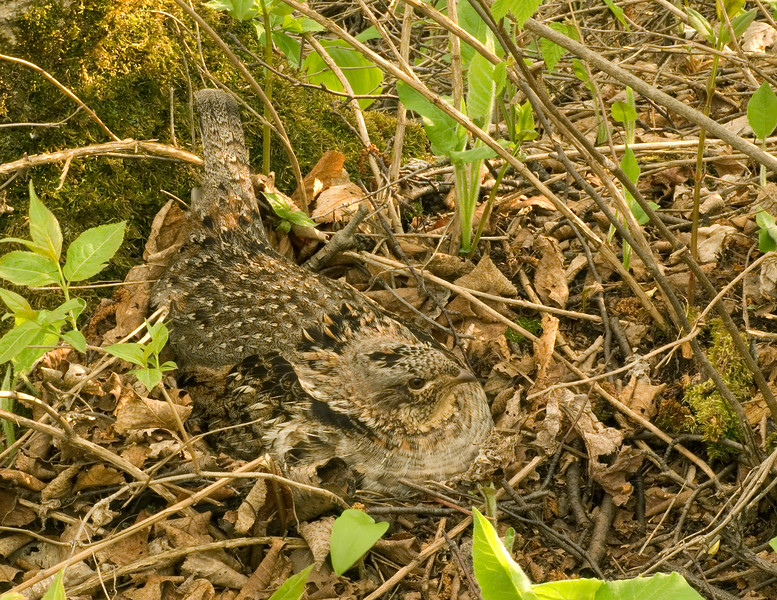 Ruffed Grouse Nest 001