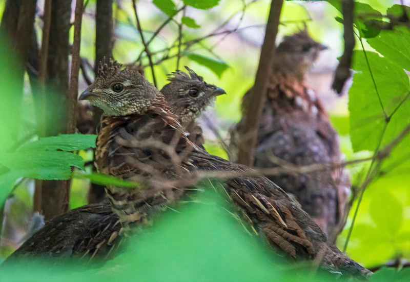 Ruffed Grouse 005