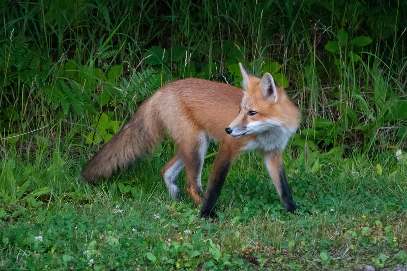 Red Fox 002