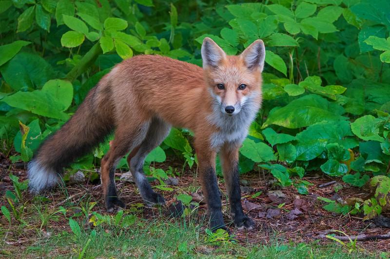 Red Fox 003