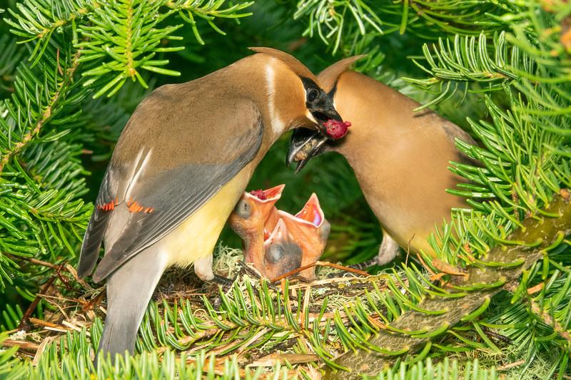 Cedar Waxwing Nest 008