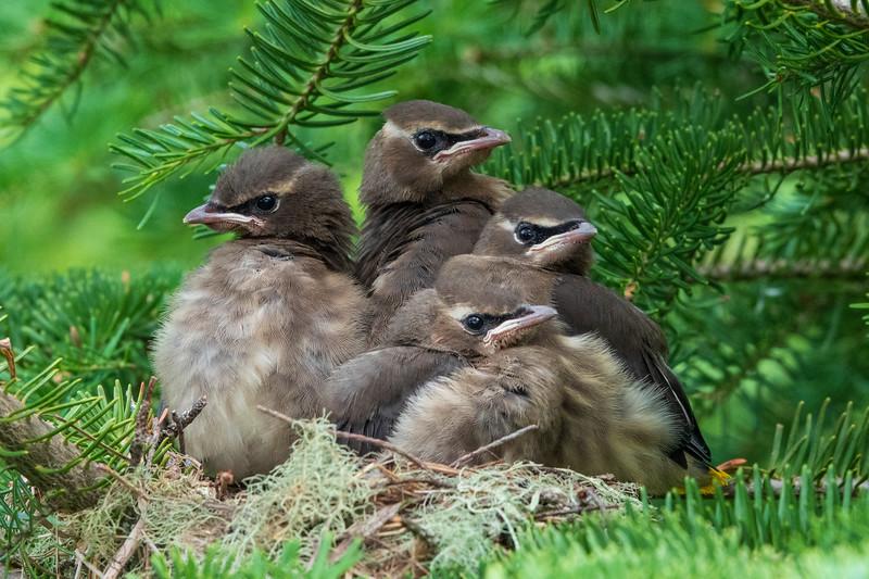 Cedar Waxwing Nest 014