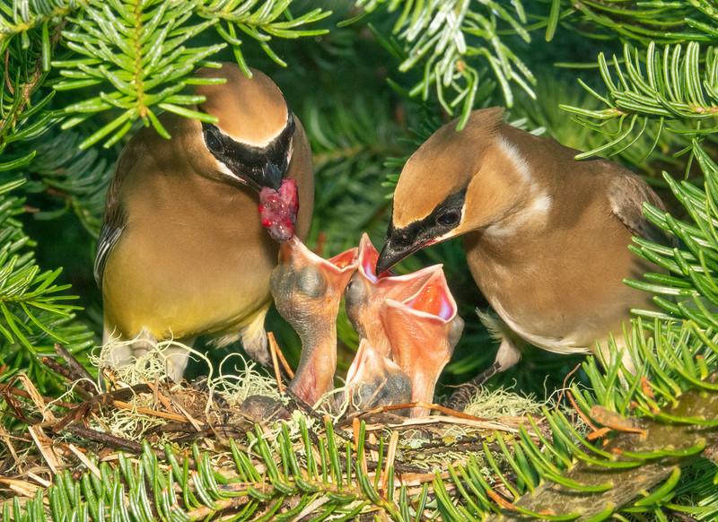 Cedar Waxwing Nest 006