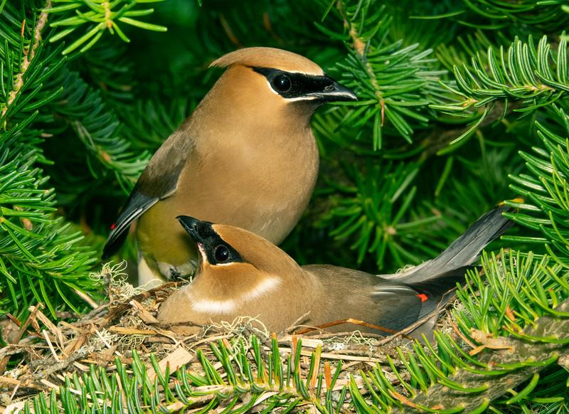 Cedar Waxwing Nest 004