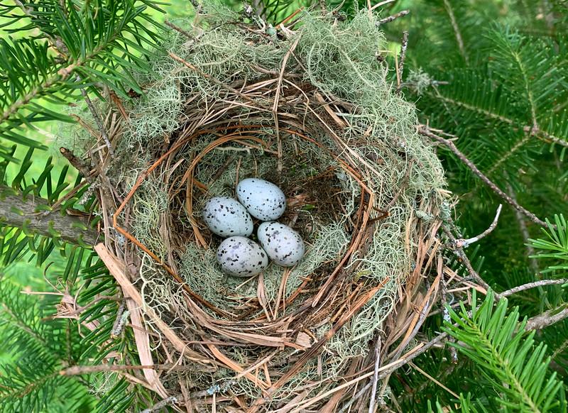 Cedar Waxwing Nest 001