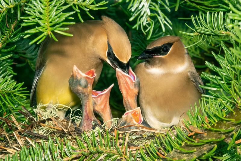 Cedar Waxwing Nest 007