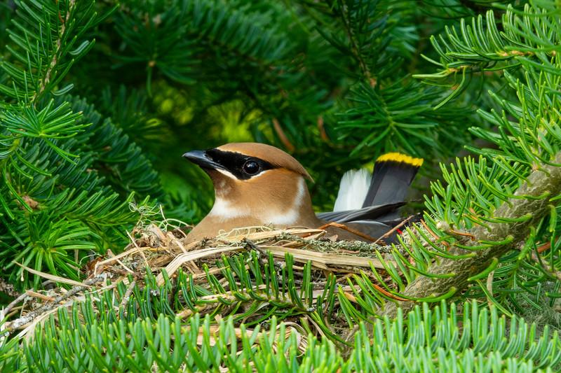 Cedar Waxwing Nest 002