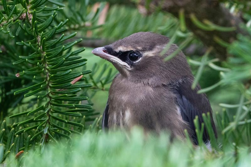 Cedar Waxwing Nest 018