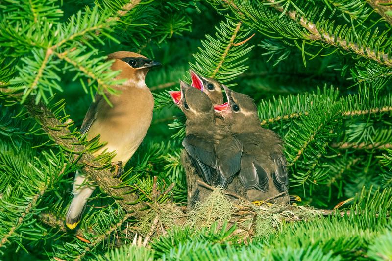 Cedar Waxwing Nest 013