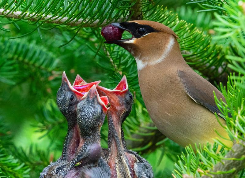 Cedar Waxwing Nest 012