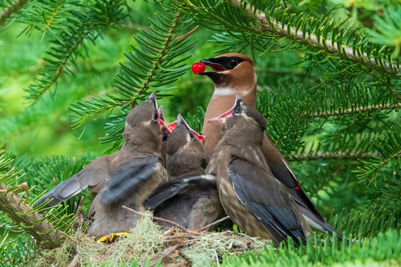 Cedar Waxwing Nest 016