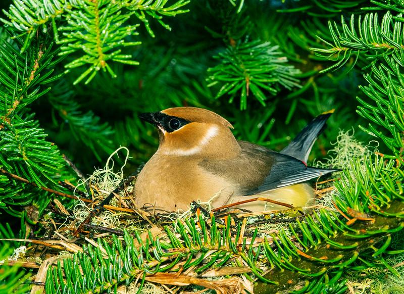Cedar Waxwing Nest 011