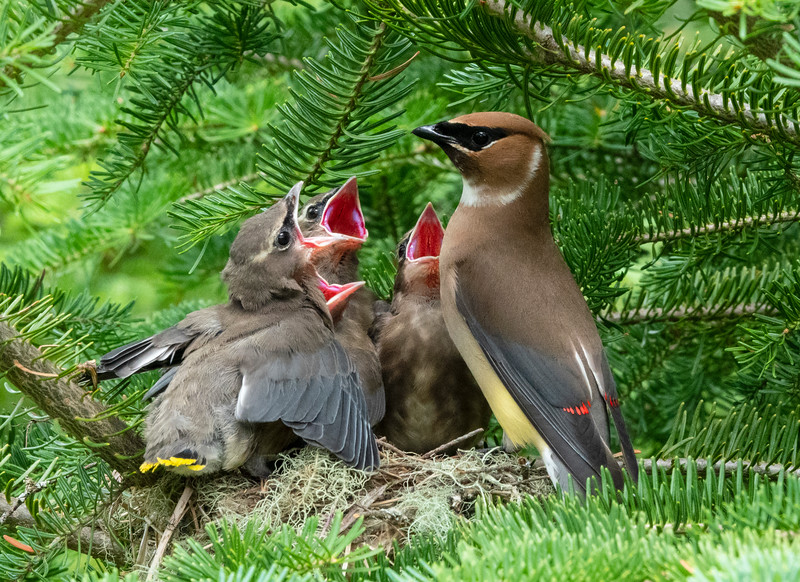 Cedar Waxwing Nest 015