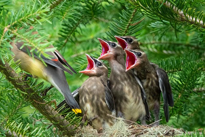 Cedar Waxwing Nest 017