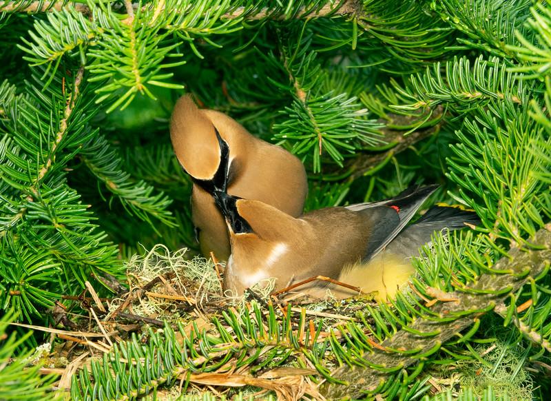 Cedar Waxwing Nest 005