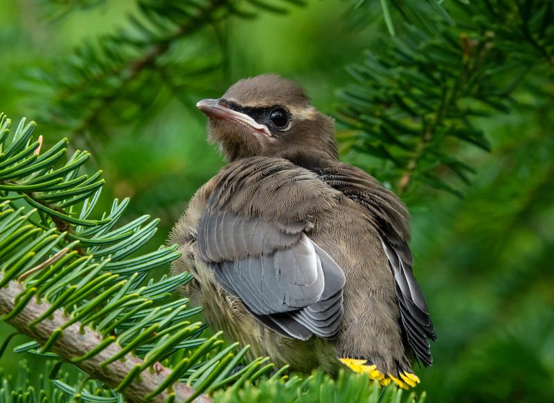 Cedar Waxwing Nest 019