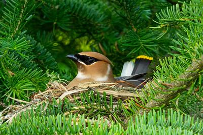 Cedar Waxwing Nest 2
