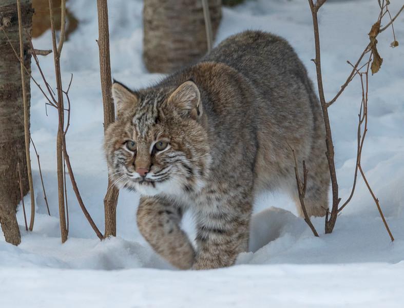 Bobcat 002