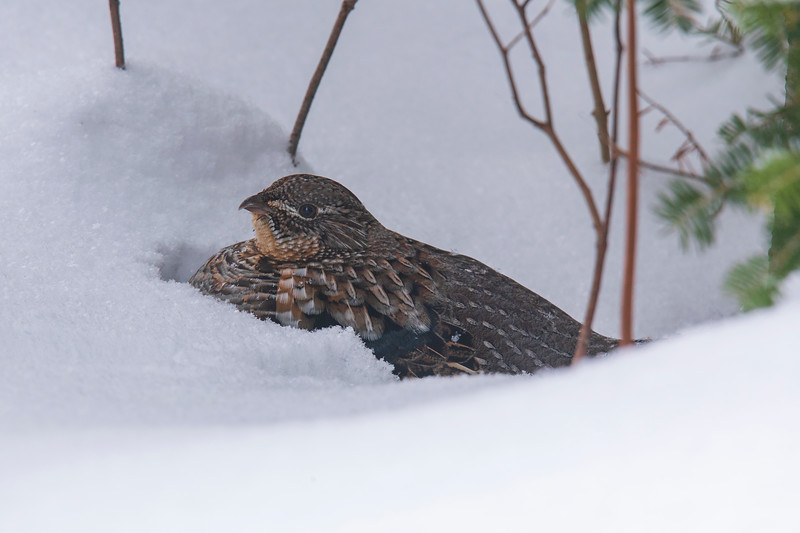 Ruffed Grouse 006