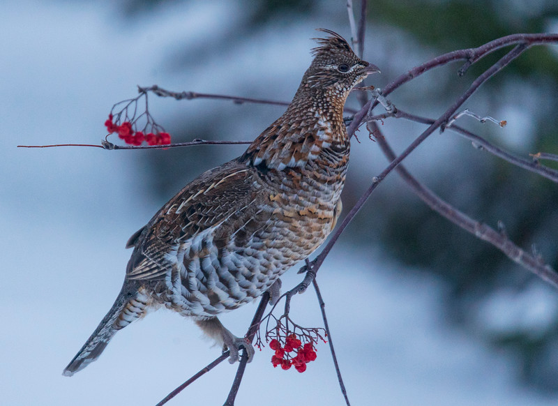 Ruffed Grouse 001