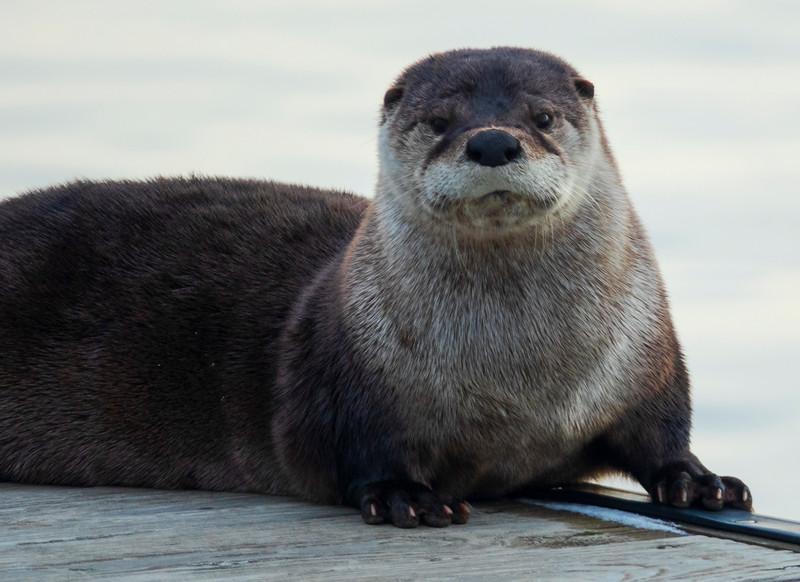 River Otter 004