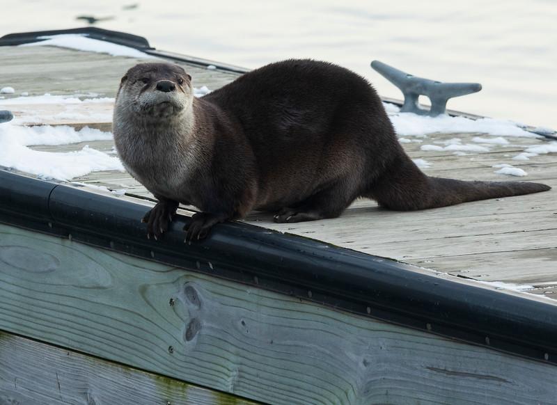 River Otter 003