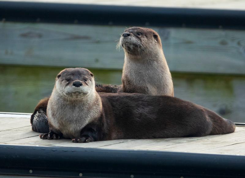 River Otter 001