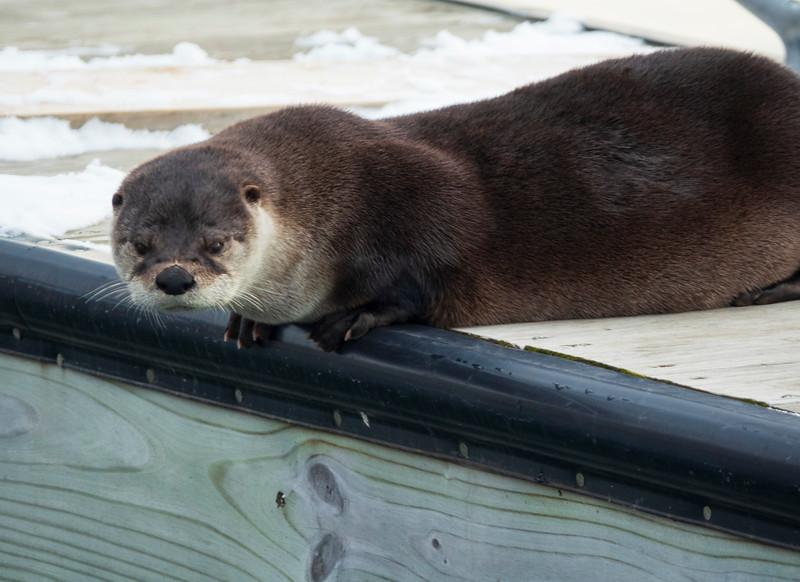 River Otter 002