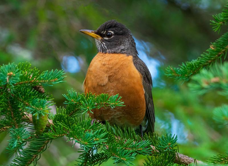 Robin Nest 001