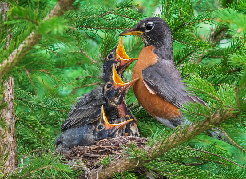 Robin Nest 005
