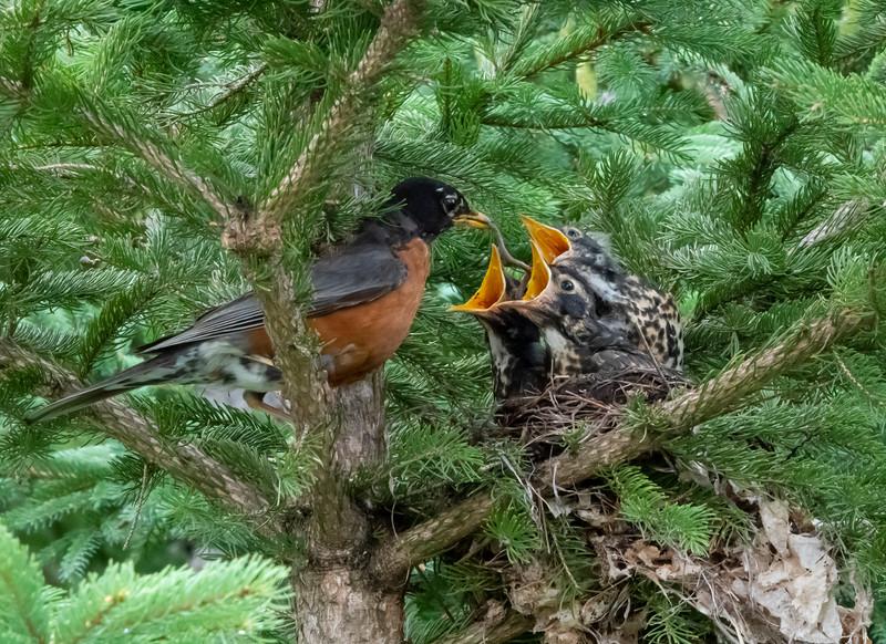 Robin Nest 002