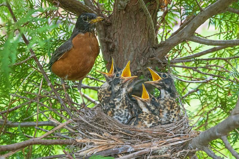 Robin Nest 010