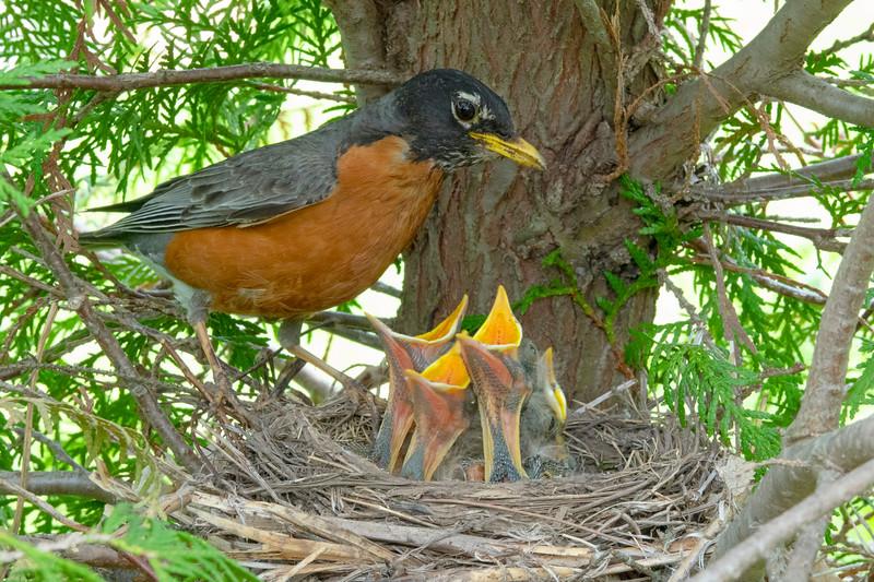 Robin Nest 003